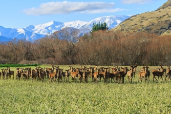 Development of the Cervena Venison Appellation, New Zealand